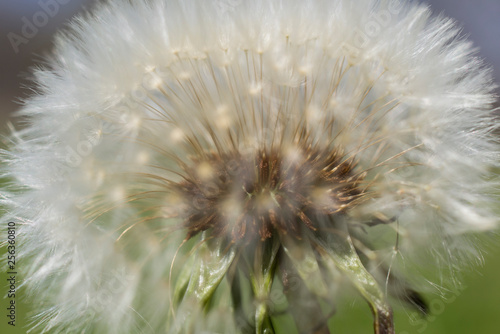 Fototapety, obrazy: Close up dandelion seed