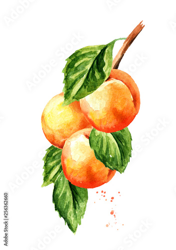 Photo Fresh apricot branch with green leaves isolated on white background