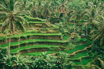 green rice fields in Asia