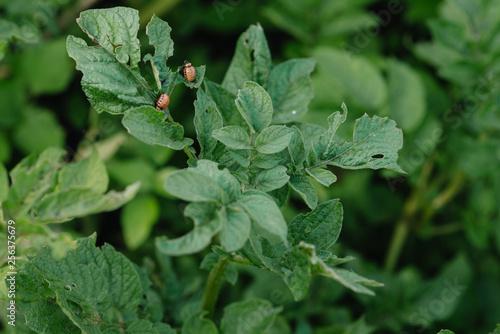 Vászonkép Colorado potato beetle larvae are harmful to agriculture