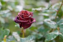 Lonely Red Rose Covered With Drops Of Morning Dew On Petals In The Morning Garden