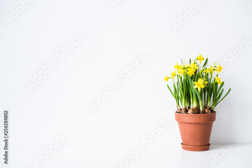 Canvas Fresh natural yellow daffodils in ceramic pot on white table near empty wall