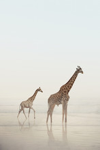 Two Giraffes Walking On A Beac...