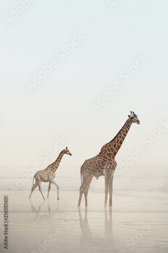 Photo Two giraffes walking on a beach with calm water and fog