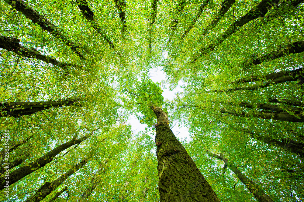 Fototapety, obrazy: Surrounded by Oak and Lime Trees, looking up, low angle shot