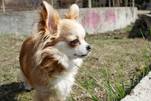 Long Haired Chihuahua Dog Outdoor. Cute Golden Chihuahua From Mexico.