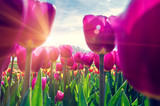 Fototapeta Tulipany - Beautiful spring landscape with tulips in the fields of Holland close-up.