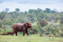 African Bush Elephant Walking In Green Bush In Kruger National Park, South Africa ; Specie Loxodonta Africana Family Of Elephantidae