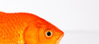 canvas print picture - Fish Eye. Gold fish