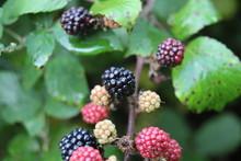 Blackberries On Blackberry Bush Bramble Growing Ripening