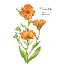 Watercolor Hand Drawn Illustration. Calendula Flower With Leaves. Calendula Officinalis.