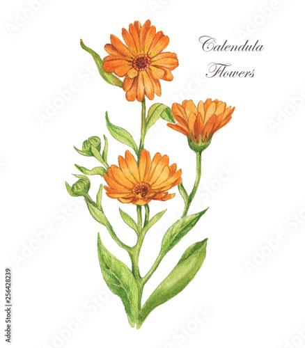 Obraz Watercolor hand drawn illustration. Calendula flower with leaves. Calendula officinalis.  - fototapety do salonu