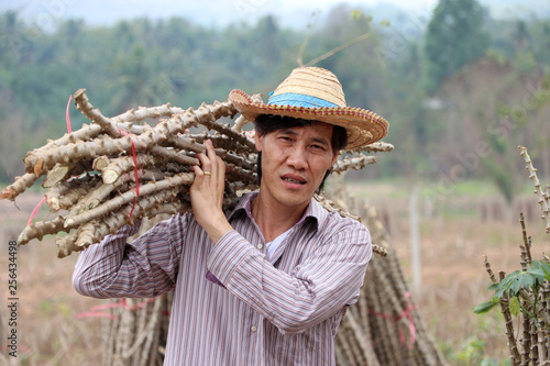 Fotografia  Male farmer standing and shoulder  tapioca limb that cut the stack together in the farm