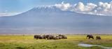 Fototapeta Sawanna - Panamra of elephants walking through the grass beneath Mt Kilimanjaro