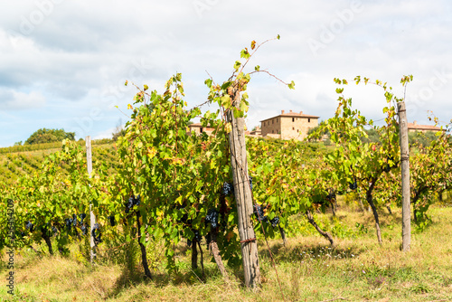 Fotografia  Reife Sangiovesetrauben für einen guten Chianti in der Toskana