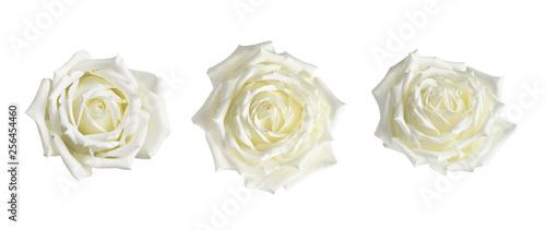Obraz na płótnie Set of white rose flowers