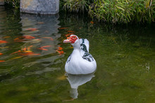 Muscovy Duck (Cairina Moschata) Swimming On A Lake With Goldfish And Carp