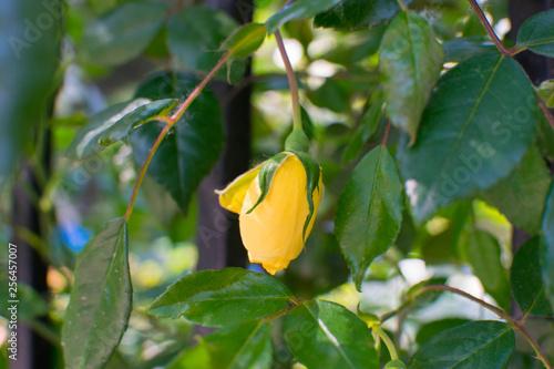 Foto  yellow rose on a bush