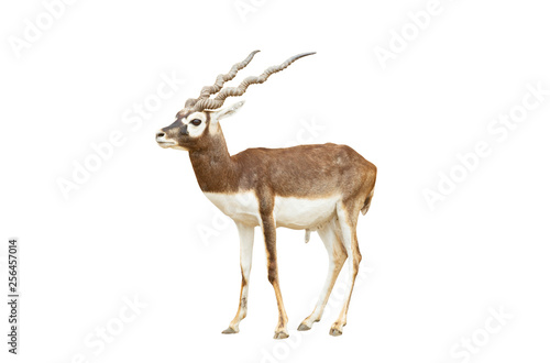 Wall Murals Antelope Blackbuck isolated on white background