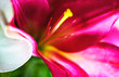 Leinwanddruck Bild - Close up view of purple red, white and green flower latices. Colorful abstract image
