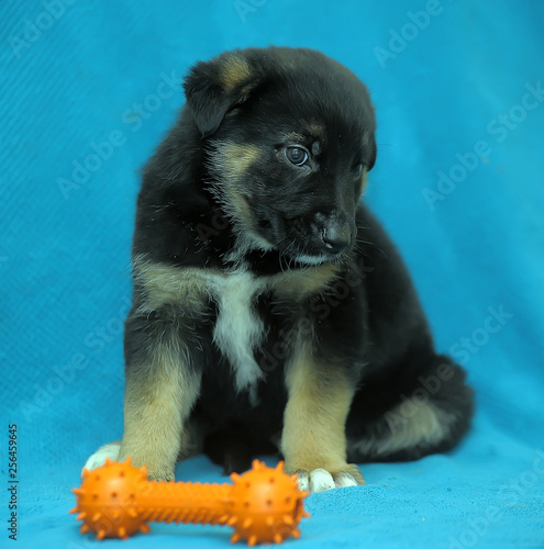 Foto  Crossbreed puppy shepherd dog on a blue background and a rubber toy bone