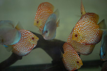 Freshwater Discus Fish Pigeon Blood And Blue Diamond In Aquarium Tank