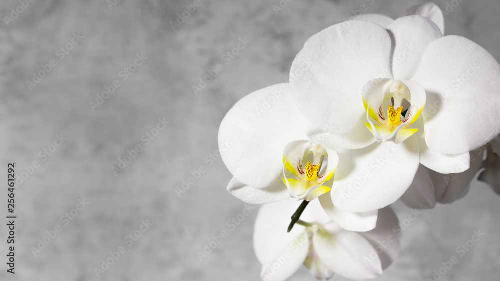 Fototapety, obrazy: White orchid on gray background. Copy space, 16х9.