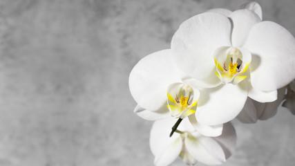 Naklejka na ściany i meble White orchid on gray background. Copy space, 16х9.