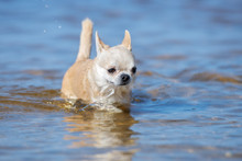 Chihuahua Dog Walking In Water