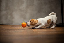 Jack Russell Terrier Puppy Playing With Orange Ball With A Rope At The End Against The Background Of A Gray Wall On A Wooden Floor