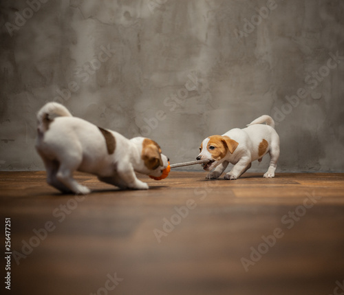 Two puppies of breed Jack Russell Terrier are played with a