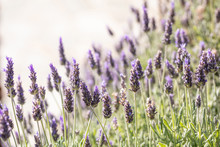 Lavender Flowers, Closeup View Of A Lavender Field Blooming In Spring