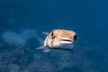 Closeup Of Puffer Fish In Blue...