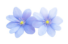 Blue Flower Isolated
