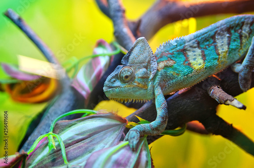 Photo Chameleon on a tree branch
