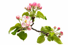 Beautiful Flowers Of Apple Tree Isolated