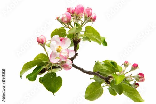 Fotografía beautiful flowers of apple tree isolated