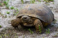 Gopher Tortoise (Gopherus Polyphemus) At Hypoluxo Scrub Natural Area In Hypoluxo, Florida, Palm Beach County, USA