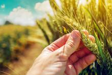 Farmer Controlling Wheat Crop Plant Development