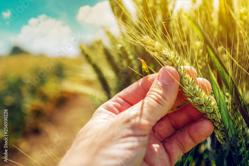 Foto Farmer controlling wheat crop plant development