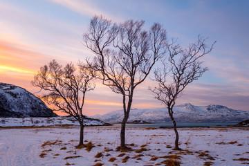 Trzy drzewa w zimowym krajobrazie przed kolorowy zachód słońca, Norwegia Norwegia
