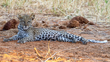 Young Leopard Baby Cub Panther...