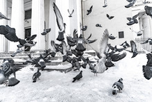 A Flock Of Flying Pigeons