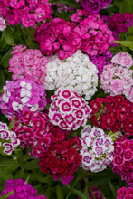 Sweet William Tall Mixed Colors