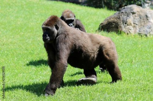 gorila Canvas-taulu