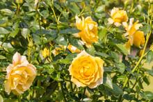 Bed Of Yellow Garden Roses In Bloom