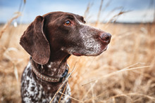 A Beautiful Bird Dog In A Field Of Grass