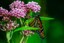 Closeup Of An Orange And Black Monarch Butterfly On A Pink Milkw