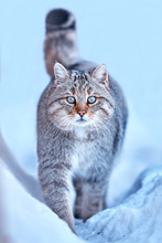 European Wildcat (Felis Silvestris) In Natural Habitat