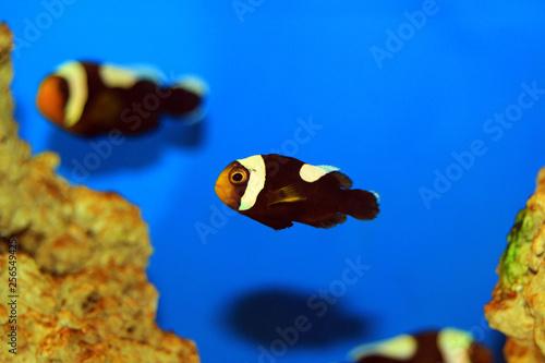 Fotografie, Tablou Saddleback Clownfish - (Amphiprion polymnus)